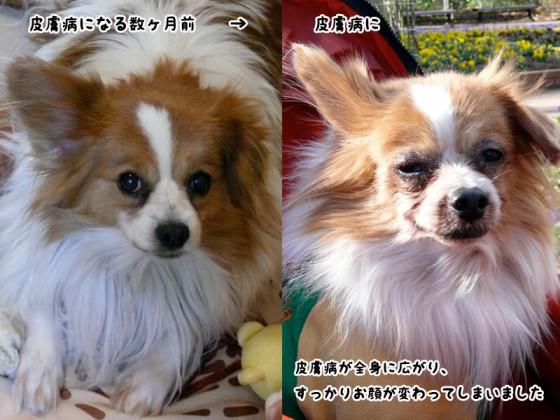 皮膚病を患う前の愛犬と現在
