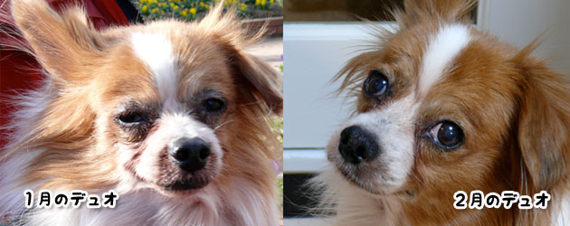 犬の流涙症による瞼の炎症
